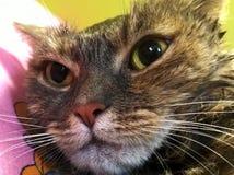 Cara de un gato mojado Fotografía de archivo