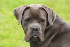 Cara de un perro azul joven del corso del bastón con los ojos blandos foto de archivo libre de regalías