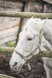 Cara de un primer del caballo blanco Imagen de archivo libre de regalías