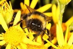 Cara de una abeja del manosear. Imágenes de archivo libres de regalías