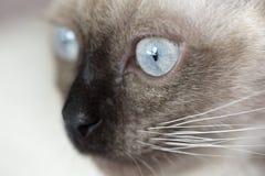 Cara de una alarma del gato de los siames imágenes de archivo libres de regalías
