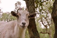 Cara de una cabra Imagen de archivo