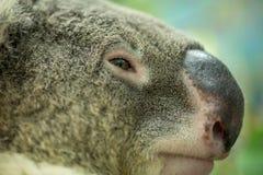 Cara de una koala Foto de archivo libre de regalías