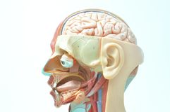 cara del ‰ del ¹ del à del modelo humano de la anatomía Fotos de archivo libres de regalías