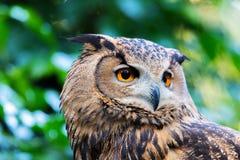 Cara del búho de águila Imagenes de archivo