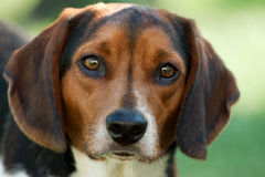Cara del beagle Foto de archivo