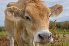 Cara del becerro Retrato joven de la vaca Foto de archivo libre de regalías