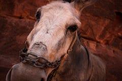 Cara del burro Imagenes de archivo