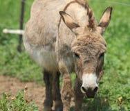 Cara del burro Fotos de archivo libres de regalías