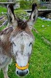 Cara del burro Foto de archivo