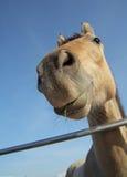 Cara del caballo Foto de archivo libre de regalías