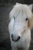 Cara del caballo blanco Imagen de archivo
