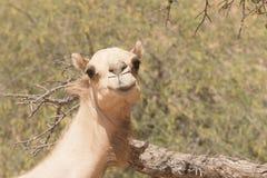 Cara del camello Fotografía de archivo libre de regalías