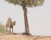 Cara del camello Imágenes de archivo libres de regalías