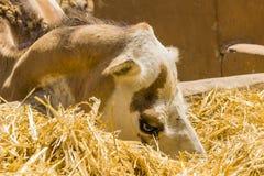 Cara del camello Imagenes de archivo
