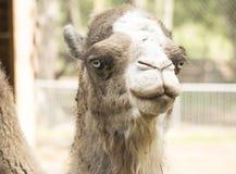 Cara del camello de los ojos azules foto de archivo