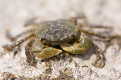 Cara del cangrejo Fotografía de archivo libre de regalías