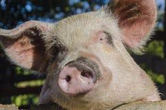 Cara 1 del cerdo Imagenes de archivo