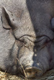 Cara del cerdo del vientre de crisol? ¡Divertido! Fotografía de archivo libre de regalías