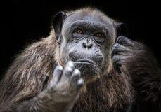 Cara del chimpancé Imagen de archivo