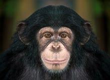 Cara del chimpancé Foto de archivo libre de regalías