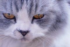 Cara del cierre enojado persa del gato para arriba Imágenes de archivo libres de regalías
