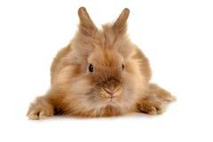 Cara del conejo Foto de archivo libre de regalías
