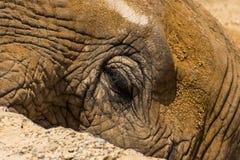 Cara del elefante Foto de archivo libre de regalías