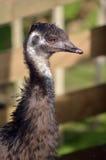 Cara del emú en una granja Fotografía de archivo