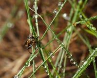 Cara del en de la mosca del asesino Fotografía de archivo libre de regalías