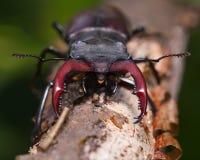Cara del en del escarabajo de macho Imágenes de archivo libres de regalías