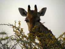 Cara del enfoque de la jirafa de Namibia Imagen de archivo libre de regalías