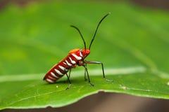 Cara del escarabajo rojo en la hoja Imagenes de archivo