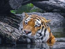 Cara del frotamiento del tigre en árbol Foto de archivo