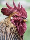 Cara del gallo imagen de archivo