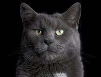 Cara del gato Fotografía de archivo libre de regalías