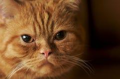 Cara del gato Imagen de archivo libre de regalías