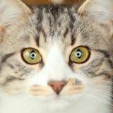 Cara del gato Fotografía de archivo