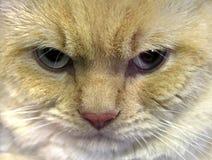 Cara del gato colérico Fotografía de archivo