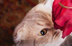 Cara del gato con la rosa del rojo Foto de archivo