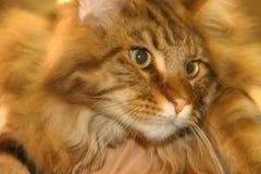 Cara del gato de casa Imagen de archivo libre de regalías