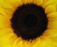 Cara del girasol Imagen de archivo libre de regalías