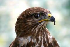 Cara del halcón Fotografía de archivo