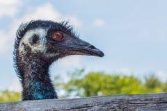 Cara del lado derecho del emú Foto de archivo libre de regalías