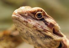 Cara del lagarto Foto de archivo libre de regalías