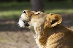 Cara del león Imágenes de archivo libres de regalías