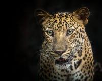 Cara del leopardo Imagenes de archivo