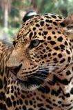 Cara del leopardo fotos de archivo libres de regalías