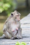 Cara del macaque de cola larga, Cangrejo-comiendo el Br de la entrerrosca de la demostración del macaque fotos de archivo libres de regalías