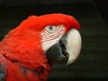 Cara del Macaw verde del ala Fotografía de archivo